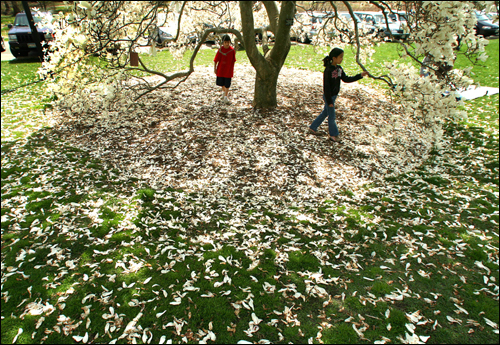 During an outing to the Arnold Arboretum, Baker School students Jack Levine, 10, left, and Madeleine Jew, 10, both from Brookline, walked under the canopy of a saucer magnolia tree.