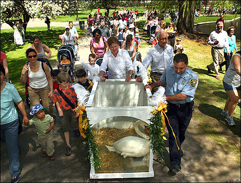 A crowd gathered Wednesday behind Romeo, one of two resident swans at the Boston Public Garden, as she and fellow swan Juliet were released into the water during a ceremony led by Mayor Thomas Menino.