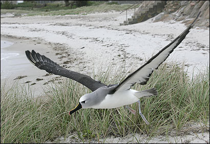 With anxious eyes upon it, the albatross finally took off yesterday in Falmouth.