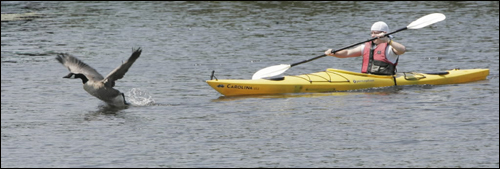 A kayaker gave chase to a Canada goose Sunday on the Charles River in Newton.