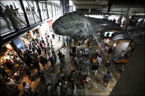 Models of two grey whales hang over guests at the Monterey Bay Aquarium.
