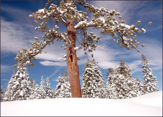 Along Yosemite's Glacier Point Road, snow piles up and adorns trees like cotton balls.