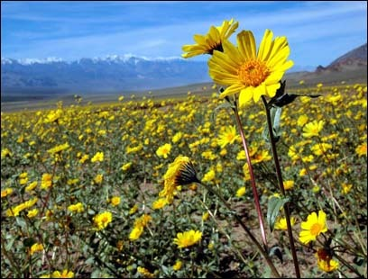Desert sunflowers grow out of the sand at Jubilee Pass.