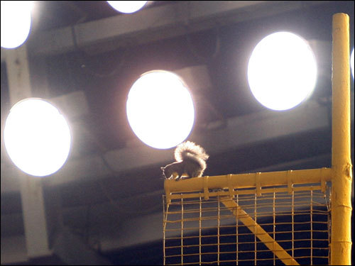 ... The squirrel appeared atop the right field foul pole during the game ...