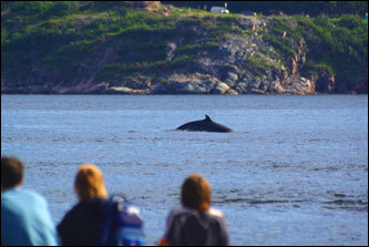 A minke whale rewards patient observers at Pointe de l'Islet. A unique combination of river and tidal currents sweeps up nutrients from a deep trench in the St. Lawrence River, creating a soupy buffet of fish and krill that attracts a dozen species of migratory whales from May through October.