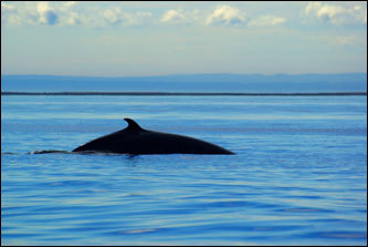 A massive fin whale arches its back to dive.