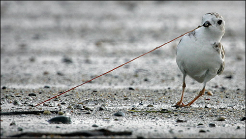 An adult piping plover pulls a worm from the mud and sand at low tide on Revere Beach. Today, the highest number of piping plovers is living on Massachusetts' shoreline. The species was declared threatened in 1985.