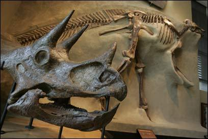 Skeletons of dinosaurs are on display at the Amherst College Museum of Natural History.