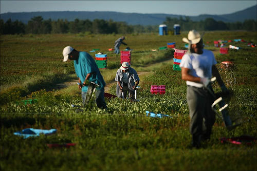 Berries harvested by workers were packaged and shipped off to be frozen and sold. Less than 1 percent of wild blueberries, which are grown commercially only in New England and Eastern Canada, are sold fresh; the rest are flash-frozen and sold the world over.