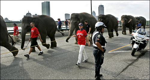 Cambridge Police Officer David Maldonado directed the traffic while elephants from the Ringling Bros. and Barnum & Bailey circus walked down Memorial Drive in Cambridge on their way to TD Banknorth Garden in Boston.  Calendar  Animal welfare activists say ad rejected