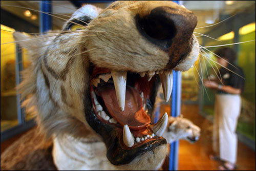 Watch out for fangs! The Harvard Museum of Natural History also stores huge zoological specimens like hippos, elephants, gorillas, and this preserved Bengal tiger with a growling face. All in all, there are close to 500 mammals on display at the museum.