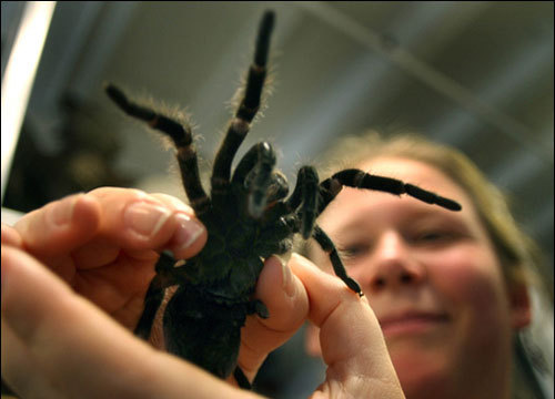 Warning: If you have arachnophobia, look away. The museum doesn't just store preserved animals, it holds live specimens, too. This tarantula is tended to by Julie Vallimont, a museum education specialist. The spider is kept in Harvard Classroom A, where it's brought out to teach students of all ages in classes about biodiversity. Look for the tarantula, a scorpion, and perhaps a horseshoe crab in these classes. Check out the class schedule at www.hmnh.harvard.edu/adult_classes. In addition, check out the museum's Halloween exhibit and discover why you shouldn't fear spiders, snakes, and other creepy creatures.