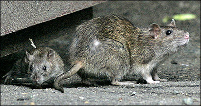 Complaints about the Norway rat, with its small ears, sharp claws, and long tail, have doubled in some areas of Boston over the past year.