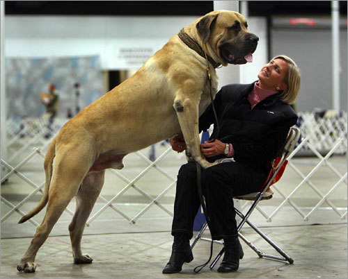 Bentley, a 226 pound English mastiff waits to be judged with his owner, Dianne Fischer from Newton. 'He eats six cups of kibbles a day' Fischer said. Submit your winter dog photos See your winter dog photos More on the Bayside Expo Center More on the Bay Colony Dog Show photos The 2006 Bay Colony Dog Show audio slideshow Behind the scenes of the 2006 show