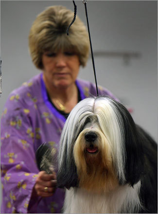 Here Toby, a Tibetan terrier, is groomed by his owner, Pam Desrosiers from Albany, N.Y. Submit your winter dog photos See your winter dog photos More on the Bayside Expo Center More on the Bay Colony Dog Show photos The 2006 Bay Colony Dog Show audio slideshow Behind the scenes of the 2006 show