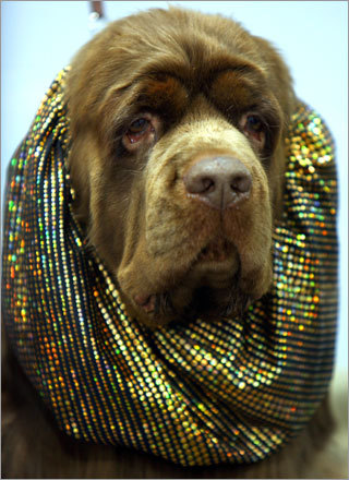 The 2007 Bay Colony Cluster Dog Show concluded Sunday at the Bayside Expo in Dorchester. Take a look back. Here, champion Grinstead Lupine CGC Sussex spaniel TDI from Dover waits on a table wearing a snood to protect his ears. Submit your winter dog photos See your winter dog photos More on the Bayside Expo Center More on the Bay Colony Dog Show photos The 2006 Bay Colony Dog Show audio slideshow Behind the scenes of the 2006 show