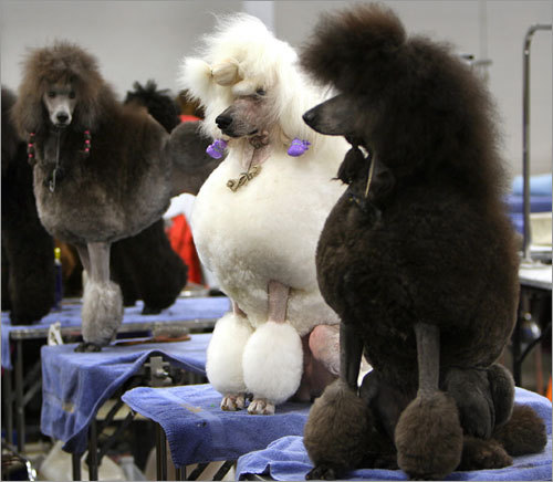 Standard poodles, all groomed, cut, and ready to be judged, stand in the handlers' waiting area. Submit your winter dog photos See your winter dog photos More on the Bayside Expo Center More on the Bay Colony Dog Show photos The 2006 Bay Colony Dog Show audio slideshow Behind the scenes of the 2006 show