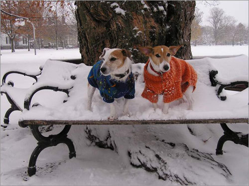 Jackman and Ralphie modeled their winter sweaters on a snowy day in Salem Common.