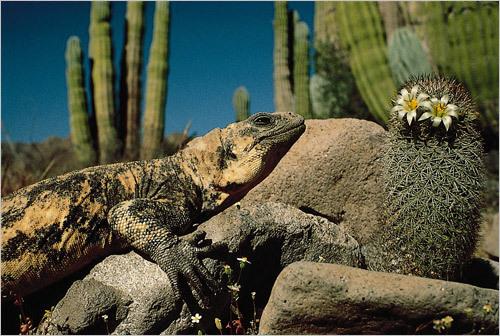 A chuckwalla lizard. STORY Sampling Baja PLAN Latin America travel guide