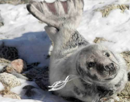 Twine was wrapped around the neck of a 35-inch-long gray seal pup found stranded on a private beach next to Dowses Beach in Osterville recently. Two animal emergency vehicles and four Cape Cod Stranding Network responders came to the seal's aid.