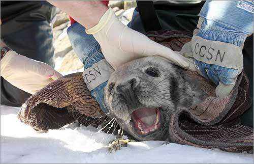 The seal tried to bite the workers as they took its vital signs.