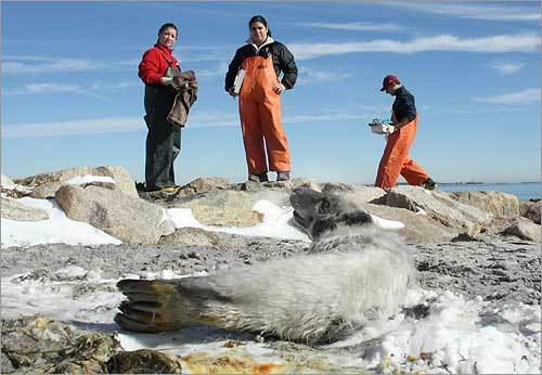 Cape Cod Stranding Network workers got a last look before the seal slid into the water.