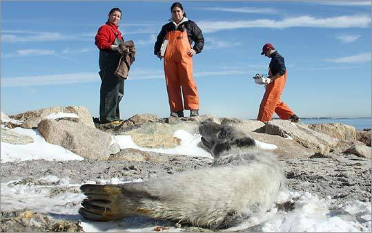 Cape Cod Standing Network stepped back after helping a beached gray seal pup.