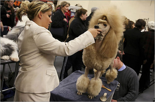 It's day two of the the 132d Westminster Kennel Club dog show and the pooches are primped and primed for another day of strutting their stuff. Here, Trump, a standard poodle, is groomed by her handler, Emily Burdon. The show is broadcast live tonight from 8 to 11 p.m. on USA Network. For times and full broadcast information, click here .