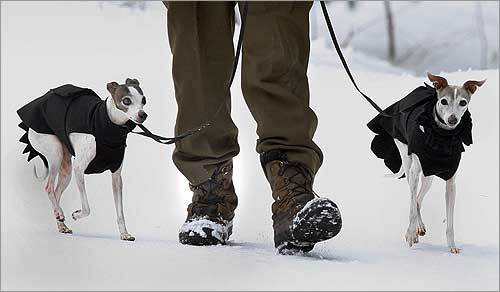 Mark Mondol of Somerville took a walk with his two Italian greyhounds near Nashoba Valley ski area in Westford.