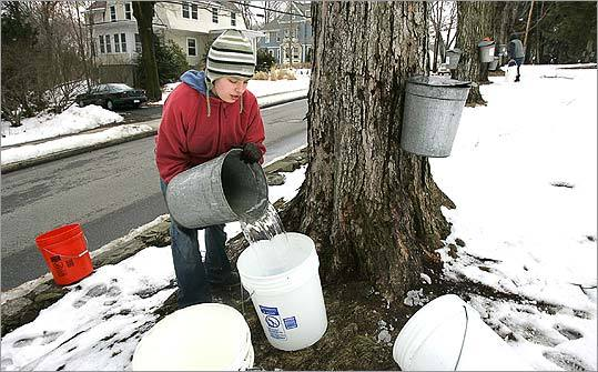 At the Walnut Hill School in Natick, Leah Levenson collects maple sap that will be boiled into syrup by the Natick Community Organic Farm.