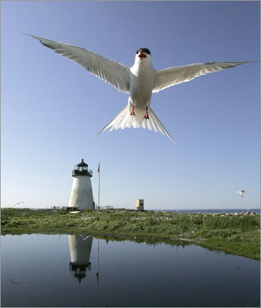 A Common Tern , one of hundreds of terns that nest on Bird Island in Marion, MA, flys at the photographer as a defensive move to keep him from the nest.