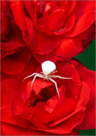 A Goldenrod Spider sits on a red rose flower in a Pembroke yard. The spider is capable of changing color to suit its background. It emerged from the white center of the rose where it waits for prey. It is a member of the Crab Spider family and gets its name because the goldenrod is a favorite flower to sit on.