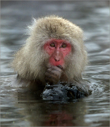 A Japanese Macaque sits in the hot springs outside of Nagano during the 18th Winter Olympics. The hot springs attract the monkeys as well as tourists.
