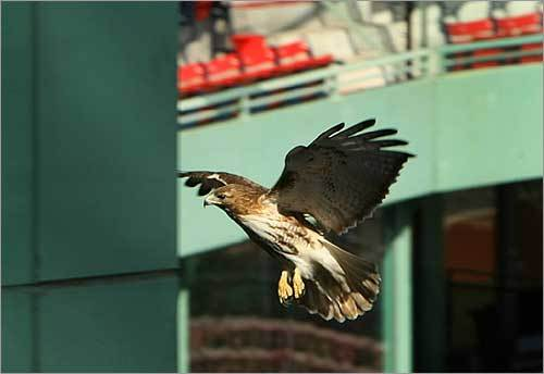 The hawk flew back to its nest below the broadcasting booths.
