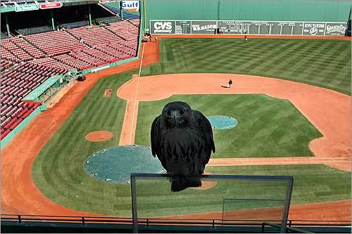 Moments before it attacked a middle school student, the hawk sat on a railing at Fenway Park.
