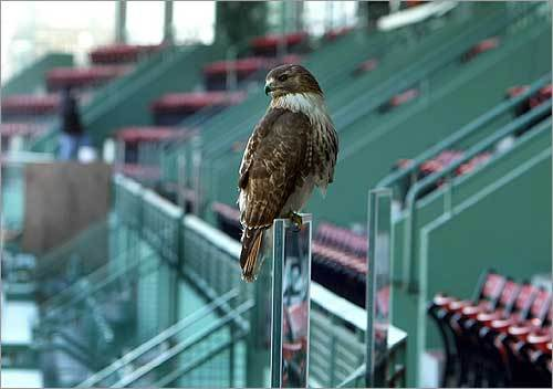 The hawk's nest was removed by the Boston Animal Rescue League at the direction of Massachusetts Fish and Wildlife, according to Red Sox spokeswoman Susan Goodenow.