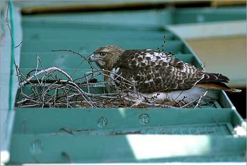 The hawk sat on its nest after the attack.
