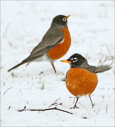 Two American robins stood on a fresh blanket of snow in Chelmsford last Friday.