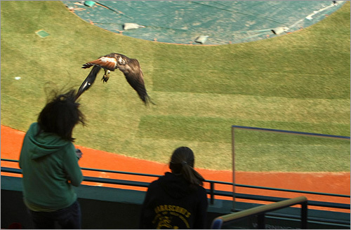 A red-tailed hawk swooped down on Alexa Rodriguez, 13, at Fenway Park Thursday, clawing her scalp and drawing blood. The girl was not seriously injured otherwise. Wildlife officials removed the egg and nest from Fenway grounds after the attack.