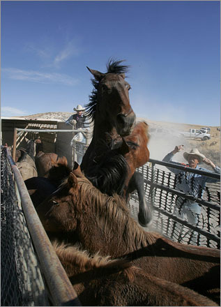 Wild horses react aggressively toward one another after being caught in a chute during a wild horse 'gather' at the Clan Alpine Herd management area in Cold Springs, Nevada.