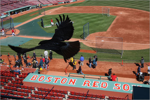 Days after the first hawk incident at Fenway Park, a hawk was spotted over Fenway before Tuesday's home opener against the Detroit Tigers. It is not known whether or not this is the same hawk involved in the attack of a teenage girl the week before.