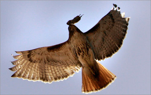 During Tuesday's home opener, the hawk flew over the crowd, clutching a mouse in its talons.