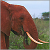 The red elephants of Tsavo East