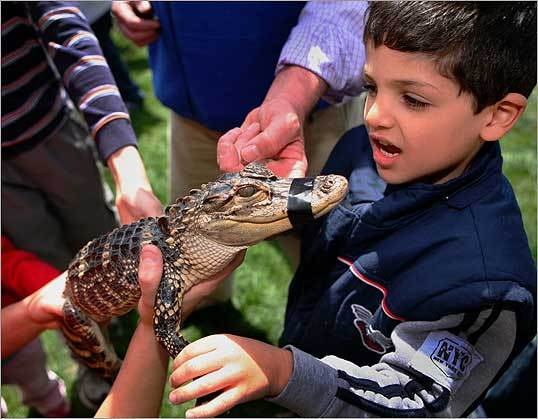 Elad Gur, 5, of Cambridge, took a closer look at 2-year old 'Dennis,' an American baby alligator, during the Cambridge Science Festival at City Hall.