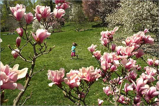 Daria Dobrolinski, 3, from Quincy, ran across the lawn after picking a petal from a magnolia tree in full bloom at the Arnold Arboretum.