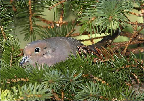 Entering its second season, the study has already found that 47 of approximately 170 species known to be breeding in the state have declined by at least 10 percent over the past three decades. A mourning dove sat on a nest in a spruce tree in a suburban yard in Mashpee.