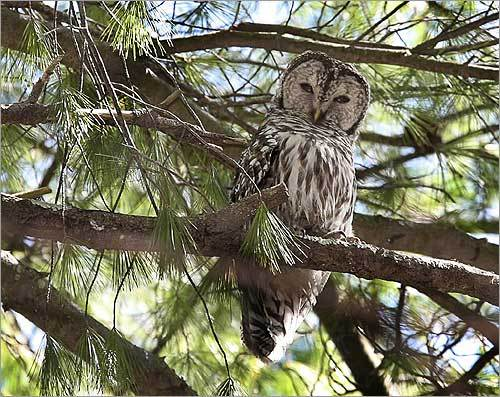 MASS Audubon has divided the state into 1,055 blocks, each covering 10 square miles, and has recruited volunteers to identify all the breeding species in each block. A barred owl perched in a white pine tree in an area where barred owls nested last year, the first nesting recording for a barred owl on Cape Cod.