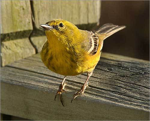 The completed atlas will be published online in 2011 and will serve as the foundation for conservation programs and ornithological research for decades to come. A pine warbler perched on a deck railing in a West Barnstable yard, about to grab a tidbit of suet at a bird feeder.