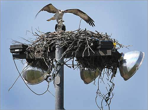 A pair of ospreys nested on a light fixture at Mashpee High School, about to mate. Ospreys have markedly increased across the state since the last breeding bird atlas was conducted.