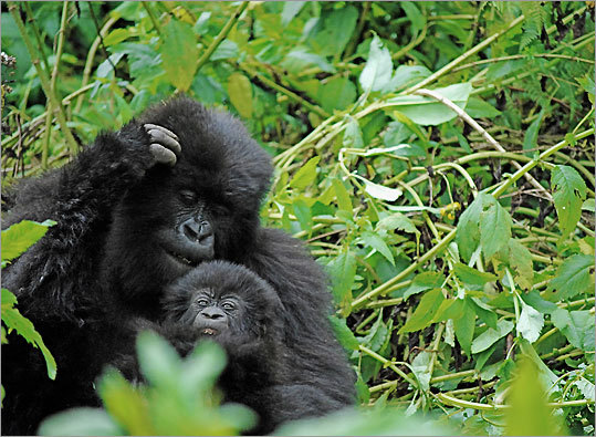 gorillas in rwanda